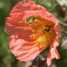 Peach Iceland Poppy - Papaver nudicaule