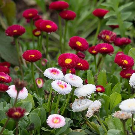 red white english daisy bells perennis
