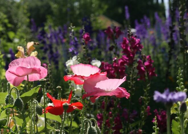 Oriental Poppies, Larkspur and Snapdragons