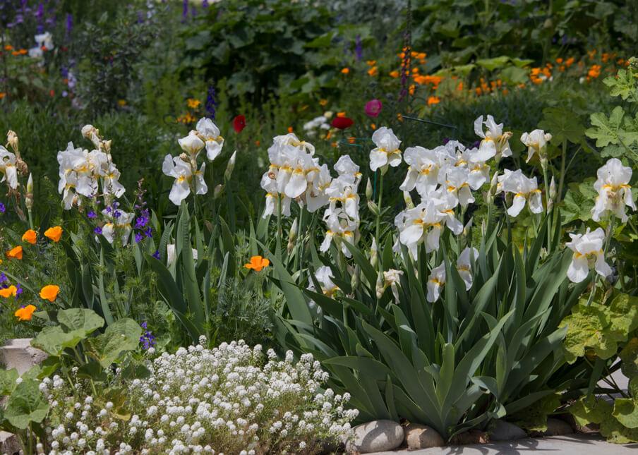 Dividing Bearded Irises