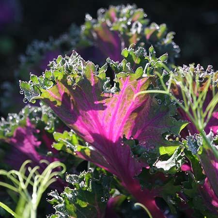purple green ornamental kale