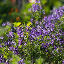 Salvia microphylla - Meza Azure