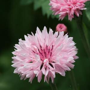 Pink Bachelor Button