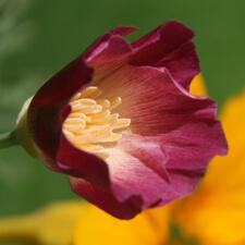 Magenta California Poppy