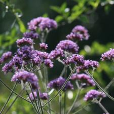 Purple Verbena bonariensis