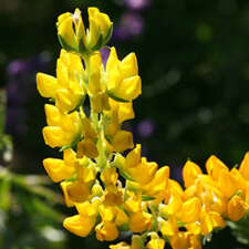 Golden Lupine - Lupinus densiflorus aureus