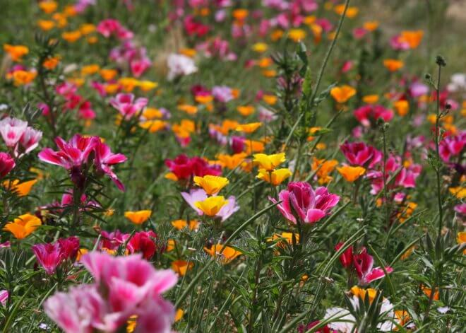 Clarkia amoena and California Poppies