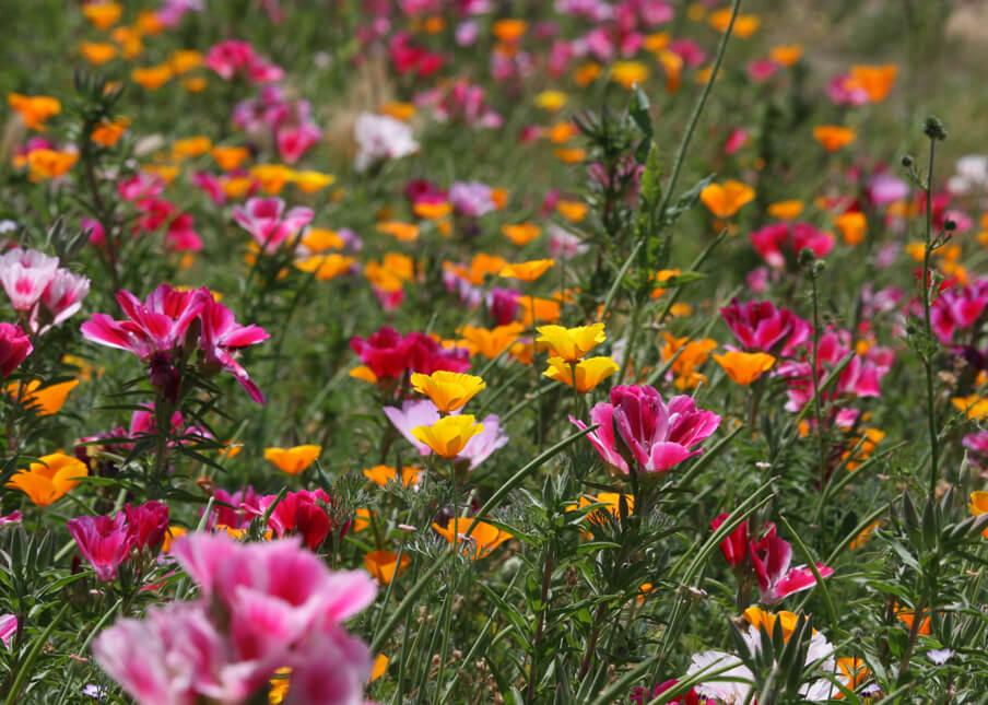 Clarkia amoena and California Poppies