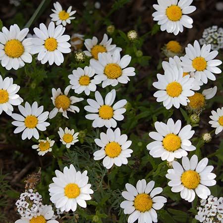 white yellow chrysanthemum paludosum