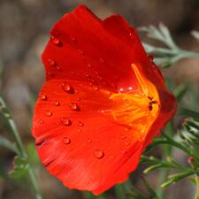 Red California Poppy