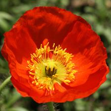 Red Iceland Poppy - Papaver nudicaule