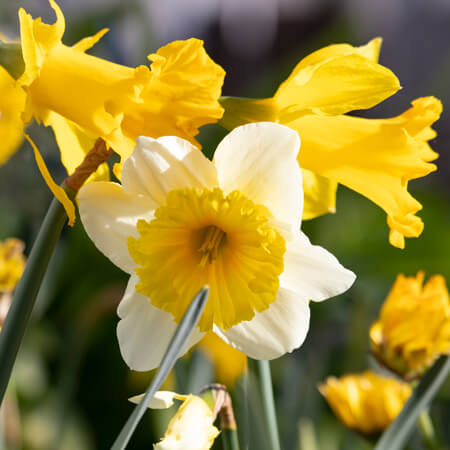 Yellow, White Daffodil