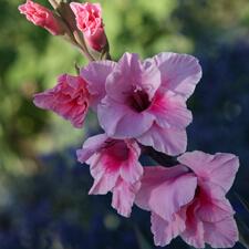 Pink Gladiola - Gladiolus