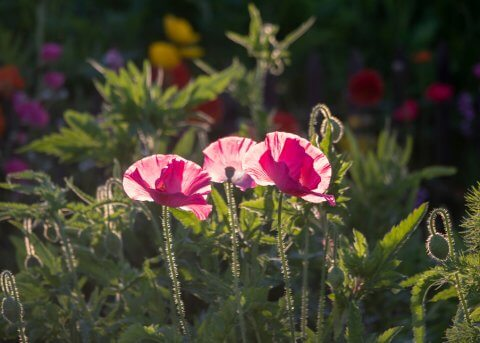 Pink Shirley Poppies