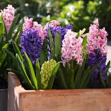 Hyacinths growing in container