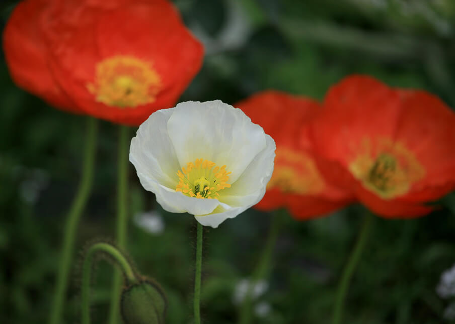 White and Orange Iceland Poppies