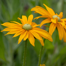 Yellow Rudbeckia - Irish Eyes