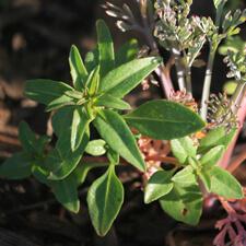 Clarkia amoena seedling