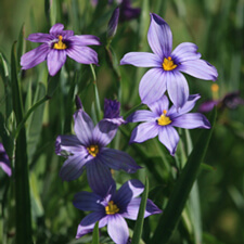 Blue Eyed Grass - Sisyrinchium bellum