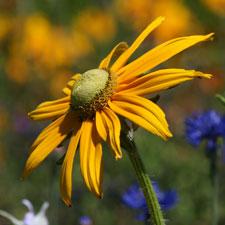 Yellow Rudbeckia - Irish Eyes