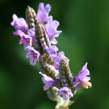 Lavender - Lavandula multifida