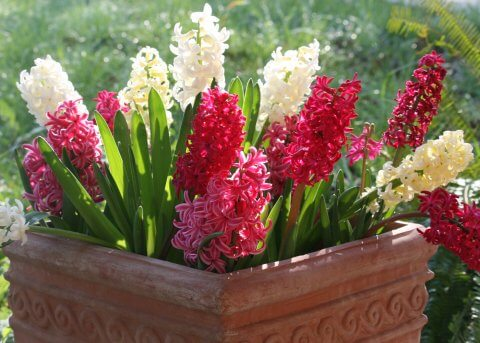 Pink, White, Yellow Hyacinth
