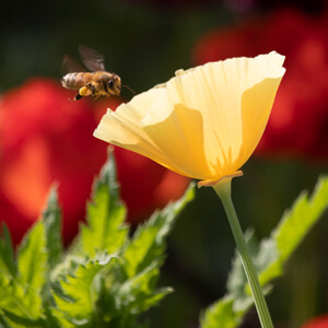 Yellow California poppy with bee