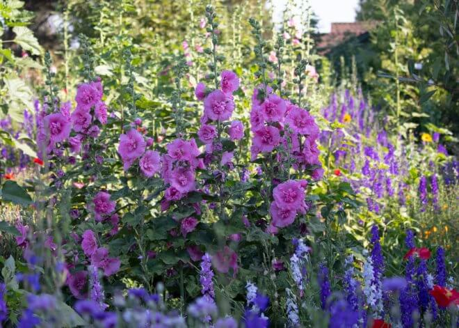 Hollyhocks in Hot and Dry Cottage Garden