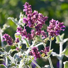 Purple Canary Island Sage - Salvia canariensis