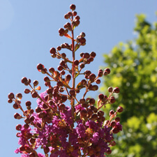 Pink Crape Myrtle - Lagerstroemia