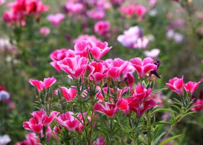 Pink Clarkia amoena