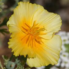 Ruffled Yellow California Poppy