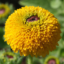 Yellow Rudbeckia - Teddy Bear