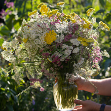 White Yellow Pink Yarrow - Achillea