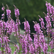 Pink Hyssop - Hyssopus officinalis