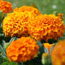 Orange Marigold - Tagetes