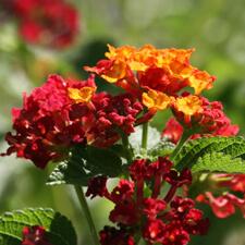 Red Orange Lantana