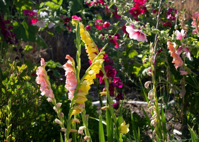 Pink & Yellow Gladiolus Blooming in Garden