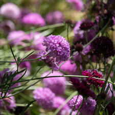 Pink and Magenta Scabiosa