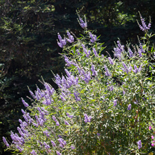 Purple Chaste Tree - Vitex agnus-castus