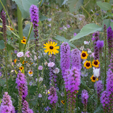 Purple Liatris, Yellow Rudbeckia, Yellow & Red Coreopsis, Bachelor Buttons and Sunflowers