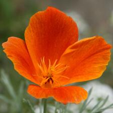Burnt Orange California Poppy