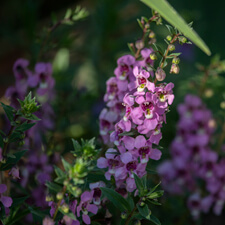 Pink Purple Angelonia angustifolia
