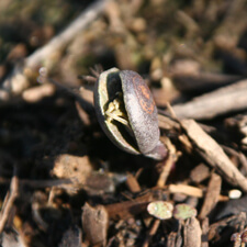 Golden Lupine - Lupinus densiflorus aureus Seedling