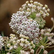 Narrowleaf Milkweed - Asclepias fascicularis