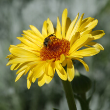 Yellow Calendula with bee