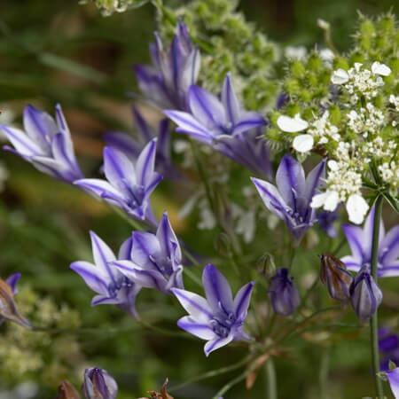 Purple Triteleia