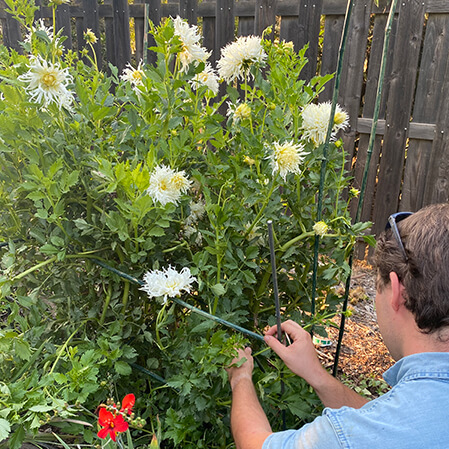 white dahlias with bamboo support structure