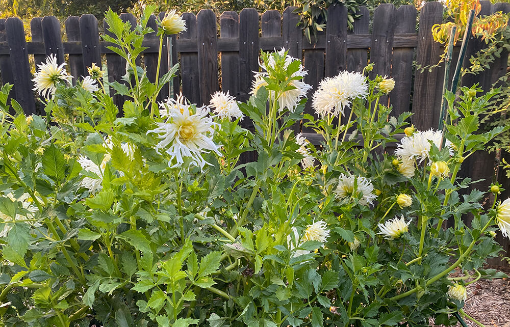 white dahlias with bamboo supports
