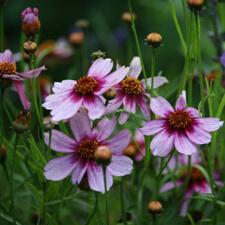 Pink Coreopsis rosea